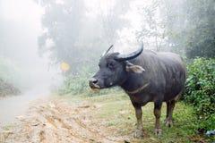 Büffel auf der nebeligen Straße Lizenzfreies Stockbild