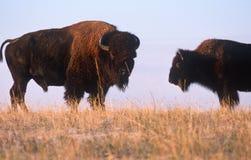 Büffel auf der Reichweite, Nebraska Lizenzfreie Stockfotos