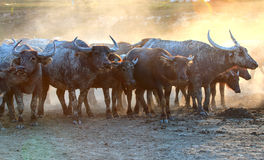 Büffel auf field7 Stockfoto