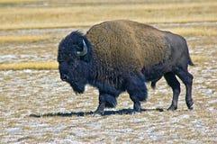 Büffel bei Yellowstone Stockbild