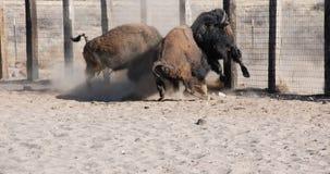 Büffel Bison Bull Fight Lizenzfreies Stockbild