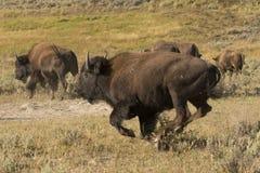 Büffel-Bison, der in Lamar Valley Yellowstone läuft Stockfotos