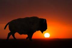 Büffel, Bison, Sonnenaufgang, Sonnenuntergang, Hintergrund lizenzfreies stockfoto