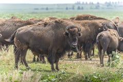 Büffel (Bison) weiden lassend auf Grasland Stockfotografie