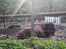 Büffel del parque zoológico grande y perezoso imagenes de archivo