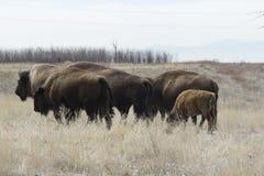 Büffel, der auf die große Ebene geht Lizenzfreie Stockfotografie