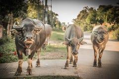 Büffel, der auf die Straße geht lizenzfreies stockfoto
