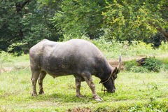 Büffel, der auf einem Gebiet weiden lässt Lizenzfreies Stockbild