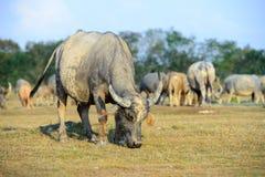Büffel, der auf einem grünen grasartigen Feld weiden lässt Stockfotografie