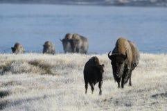 Büffel, der aus Fluss herauskommt Stockfoto