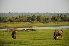 Büffel, der das Gras in der grünen Wiese nahe dem Fluss isst Lizenzfreie Stockfotografie