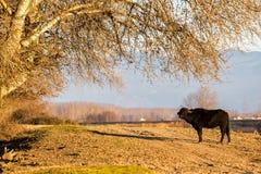 Büffel, der an der Straße nahe Kerkini See in Griechenland steht Stockfotografie