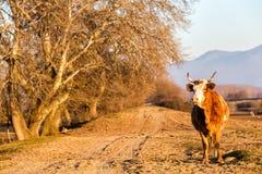 Büffel, der an der Straße nahe Kerkini See in Griechenland steht Lizenzfreie Stockfotos