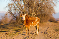 Büffel, der an der Straße nahe Kerkini See in Griechenland steht Lizenzfreies Stockfoto