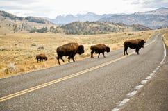 Büffel, der die Straße kreuzt Stockfoto