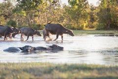 Büffel, der einen Fluss in Thailand durchschreitet Stockbild