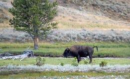 Büffel, der Freunde in Yellowstone fordert Lizenzfreie Stockfotografie
