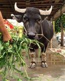 Büffel, der Gemüse isst stockfotos