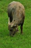 Büffel, der grünes Gras isst stockbild