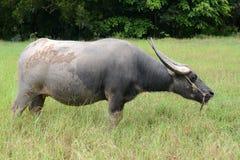 Büffel, der Gras auf dem Gebiet eines Landwirts isst Stockfotos
