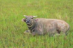 Büffel, der Gras auf dem Gebiet eines Landwirts isst Stockbild