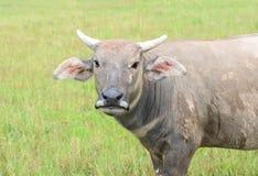 Büffel, der Gras auf dem Gebiet eines Landwirts isst Stockfoto