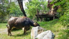 Büffel, der Gras isst Lizenzfreie Stockfotografie
