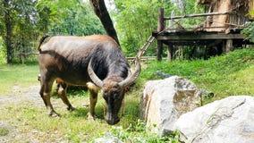 Büffel, der Gras isst Lizenzfreies Stockfoto