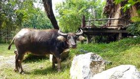 Büffel, der Gras isst Lizenzfreie Stockfotos