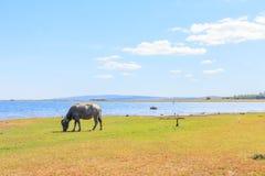 Büffel, der Gras isst Lizenzfreie Stockbilder