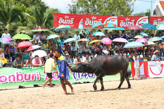Büffel, der im Büffel laufendes Festiva läuft Stockbild
