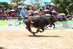 Büffel, der im Büffel laufendes Festiva läuft Lizenzfreies Stockfoto
