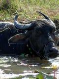 Büffel, der im heißen Sonnen-Süden-Goaindien kühlt lizenzfreie stockfotografie