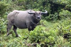 Büffel, der im Wald steht und zu einer Kamera schaut Stockbilder
