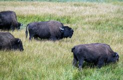 Büffel, der laut in Yellowstone brüllt Lizenzfreies Stockfoto