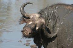 Büffel, der seinen Stutzen verdreht Stockbilder