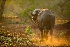 Büffel, der in Sonnenunterganglicht geht Stockfoto