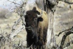 Büffel, der unter einem toten Baum steht stockbilder