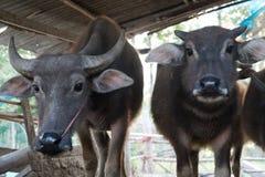 Büffel in der Viehstift-Porträt lokalen Szene der Thailand-Büffelkuh morgens Stockbild