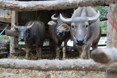 Büffel in der Viehstift-Porträt lokalen Szene der Thailand-Büffelkuh morgens Stockfoto