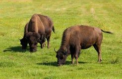 Büffel des amerikanischen Bisons (Bisonbison) einfach Stockfotos