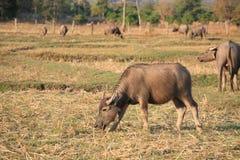Büffel, die Gras auf dem Gebiet essen Stockfotos