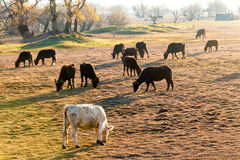 Büffel, die nahe Kerkini See in Griechenland essen Lizenzfreie Stockfotos