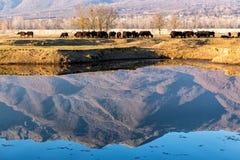 Büffel, die nahe Kerkini See in Griechenland essen Stockfoto