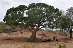 Büffel, die unter großem Baum, Kruger NP stillstehen Stockfotos