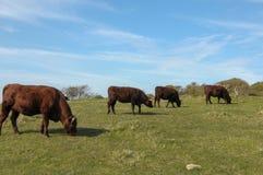 Büffel in einem Bauernhof Lizenzfreie Stockbilder
