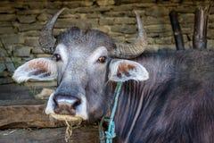 Büffel in einer Scheune Stockbild