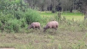 Büffel essen ihr zu Mittag Stockfotos