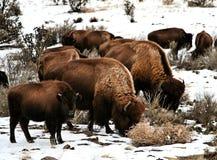 Büffel-Familie Stockfotografie