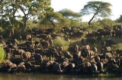 Büffel in Fluss Lizenzfreies Stockfoto
